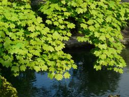 Maple Leaves green and water