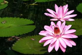 two Pink Water lily flowers on pond
