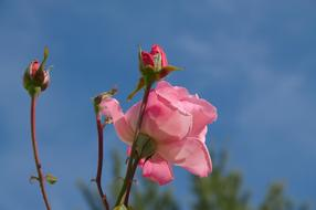 Rose, Pink Flower and buds