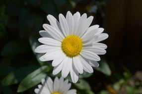 magnificent Marguerite