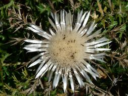Thistle Silver Carlina flower
