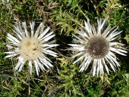 Thistle Silver Carlina flowers