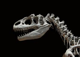 Dinosaur Skeleton black background