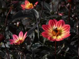 extraordinarily beautiful Dahlia Garden Red Yellow