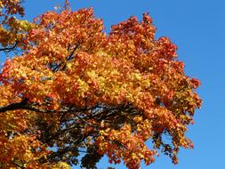 Autumn colors, Maple Tree top at sky