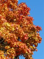 Autumn Tree Red Yellow blue sky
