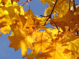 yellow Oak Leaves Autumn
