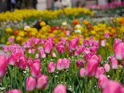 Field of yellow and pink Tulips