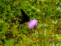 Papilio Butterfly Black and violet flower