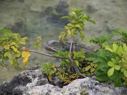 Iguana, Lizard hiding in shrubs