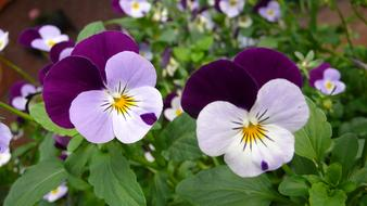 Pansy Flower purple