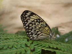 black and white Butterfly on fern leaf