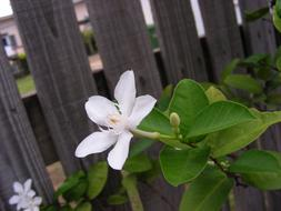 White Flowers at wooden fence