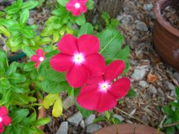 vinca, potted plant with Pink Flowers