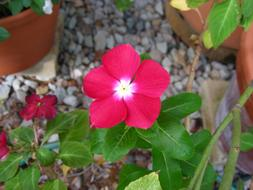 goodly Pink Flower Vinca