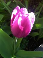 magnificent Garden tulip