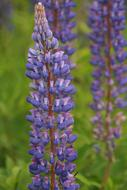 extraordinarily beautiful Lupines Flower