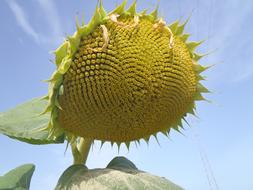 Sunflower yellow big