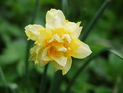 incredibly beautiful Daffodil Yellow