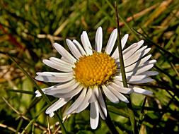 goodly Daisy Flower Grass