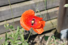 Poppy orange Flower