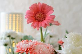 impressively beautiful Gerbera Pink