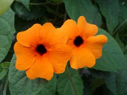 Brown Eyed Susanne orange