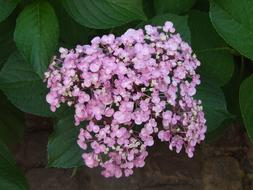 Hydrangea, pink inflorescence, top view