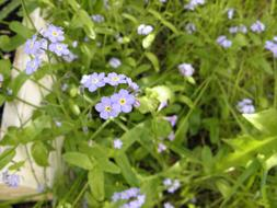 incredibly beautiful Forget Me Not Flower