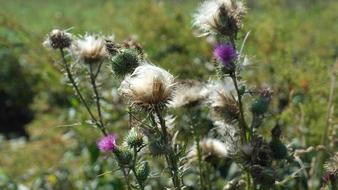 Thistle, Cirsium Vulgare, Flowers, buds and ripe seed heads