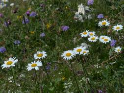 Daisies Meadows Margerite