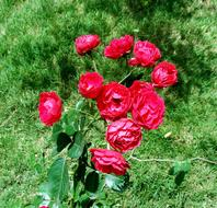 Button Rose, Bunch of red Flowers at greenery