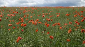 green crops field with red poppies under grey clouds