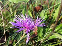 purple cornflower at green grass
