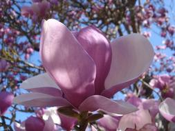 wonderful Flower Magnolias Spring
