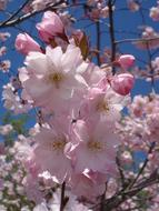 impressively beautiful Flowering Cherry