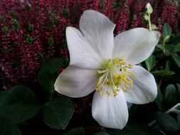 Christmas Rose White cute