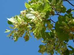 Linden, blooming branches at sky