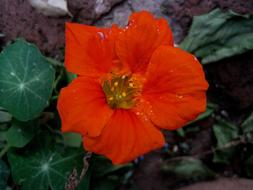 Nasturtium, top view of Orange flower