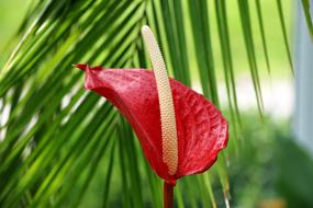 wonderful Anthurium Flower Exotic