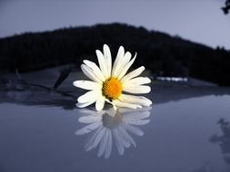 Marguerite flowers water
