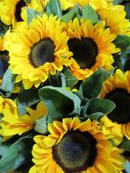 goodly Sunflowers