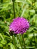 impressively beautiful Thistle Cirsium Vulgare