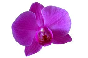 Orchid Flower Purple drawing
