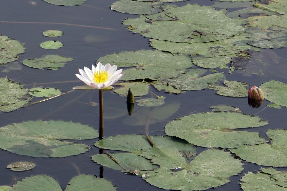 white Water Lily Flower pond