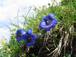 Gentian, Blue Alpine Flowers in green grass