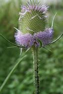 fabulous Thistle Flower Blossom