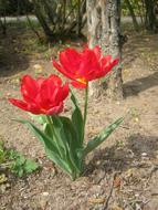 absolutely beautiful two Tulips Red
