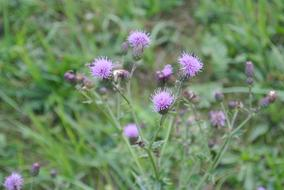 fabulous Thistle Purple Blossom