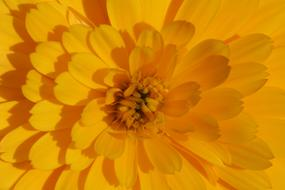 impressively beautiful Marigold Flower Yellow